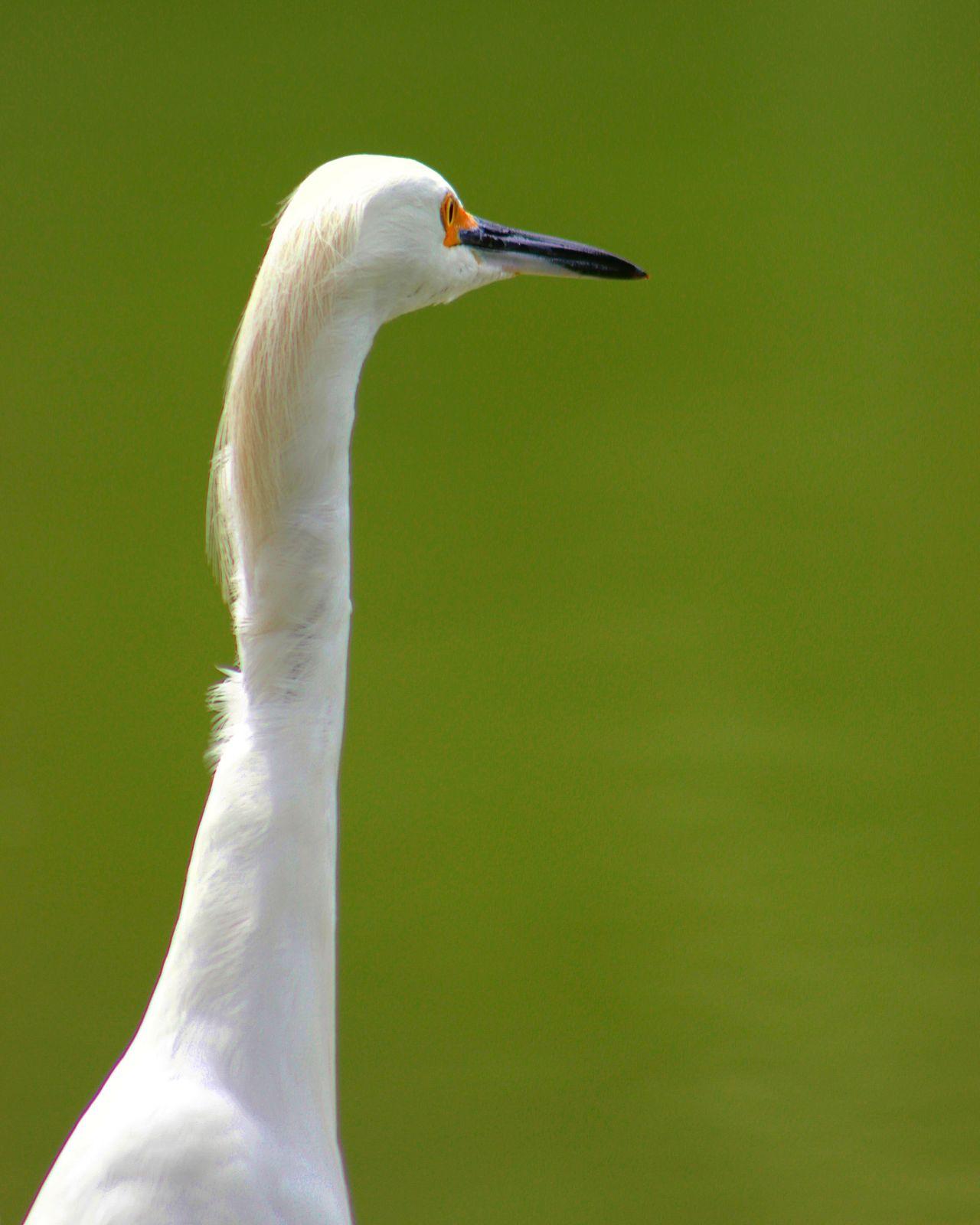 Garca Garças Egret Bird Birds