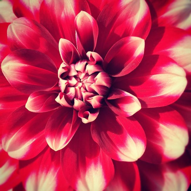 Flower Freshness Petal Fragility Flower Head Beauty In Nature Close-up Dahlia Natural Pattern Growth Nature Backgrounds Red Full Frame Extreme Close-up Macro Plant Single Flower Vibrant Color Springtime