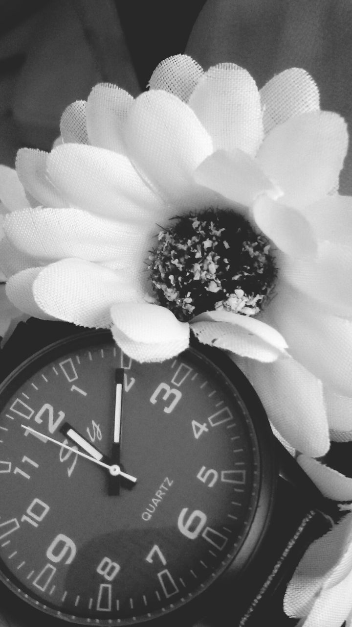 close-up, no people, indoors, nature, flower, time, flower head, day, clock, minute hand