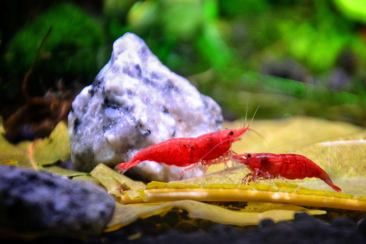 Shrimps For Aquarium Beauty In Nature Nanotank Aquarium Life Shrimp Lovers Aquarium Photography Red Nature Samsung Galaxy S7 Edge Underwater
