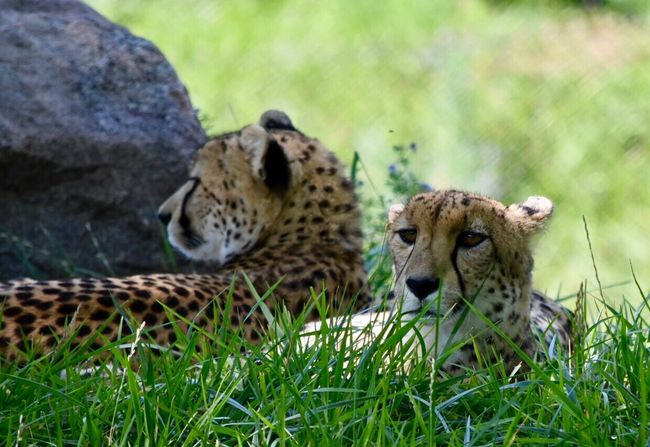 Animals In The Wild Animal Themes Day Wildlife Carnivora Mammal Animal Wildlife Relaxation Cheetah Leopard No People Feline Safari Animals Outdoors Grass One Animal Animal Markings Nature Close-up