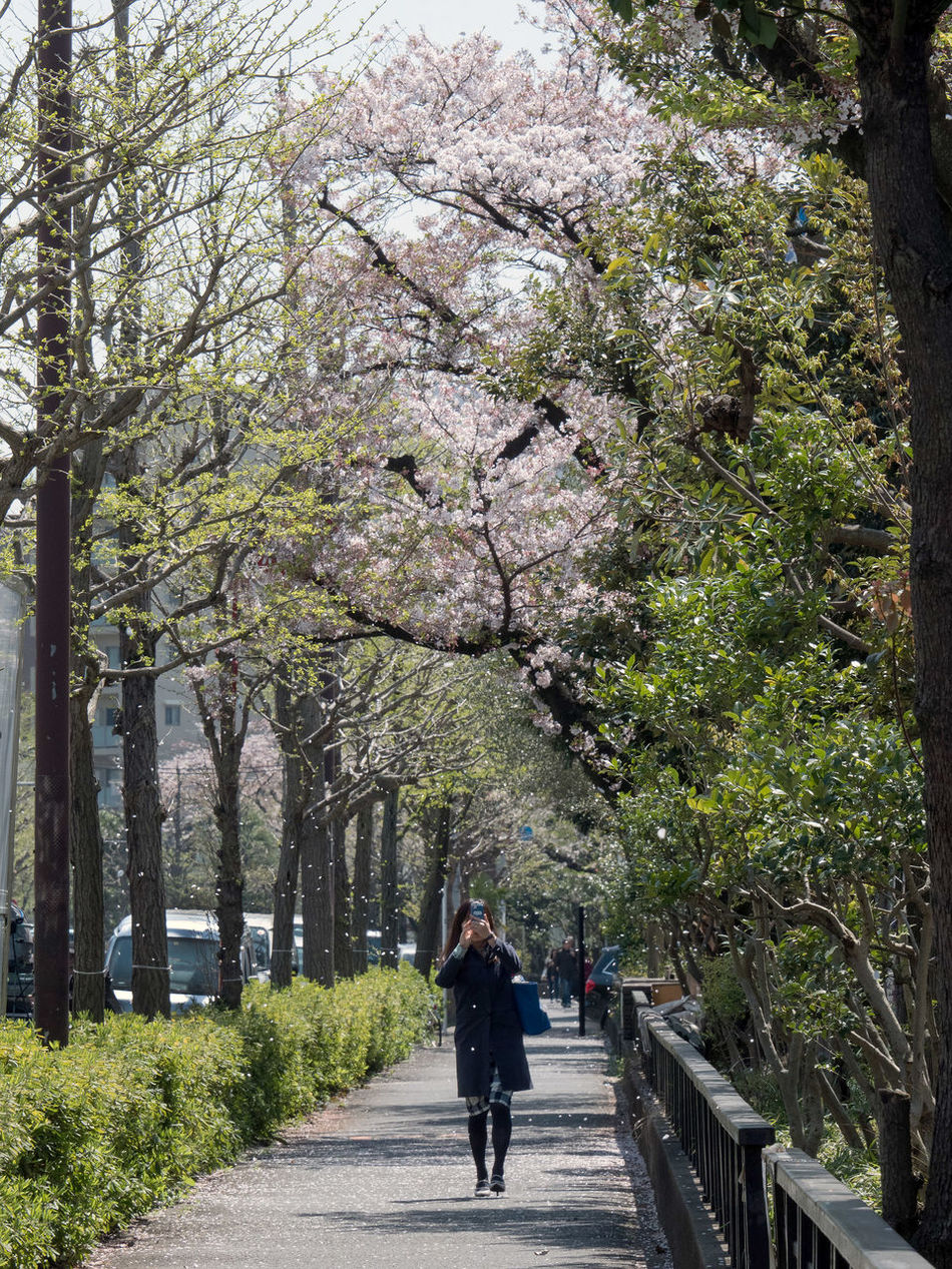 Cherry Blossoms Cherry Tree Chrerryblossom Day Flower Nature People Spring Flowers Springtime Taking Photos Tree Walking Watching CityWalk Flower Collection Snapshot Streetphotography On The Road Yoyogi 代々木 Tokyo Japan