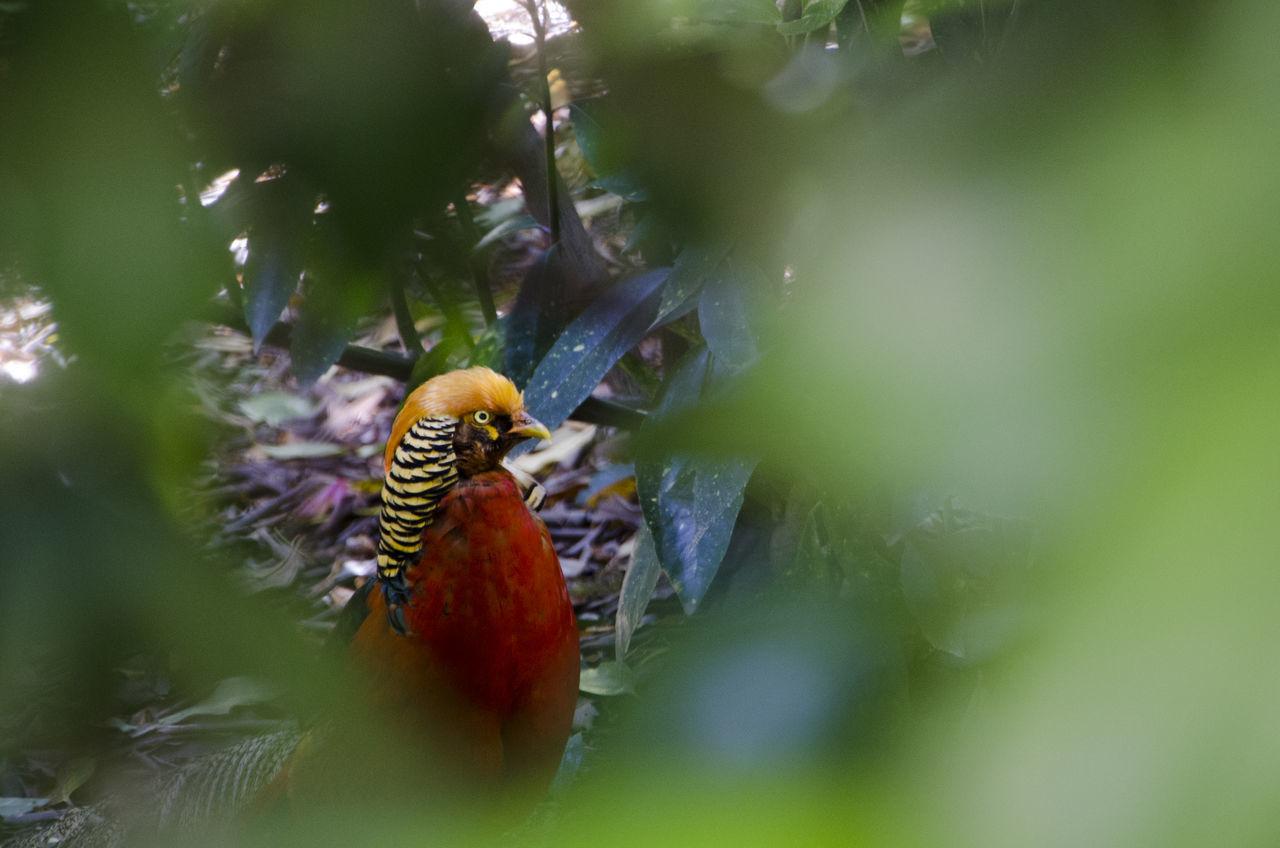Bird Bird Watcher Bird Watching Colors Fagiano Fotografia Naturalistica Green Natura Natural Photography Nature Pheasant Plant Uccello The Great Outdoors - 2017 EyeEm Awards