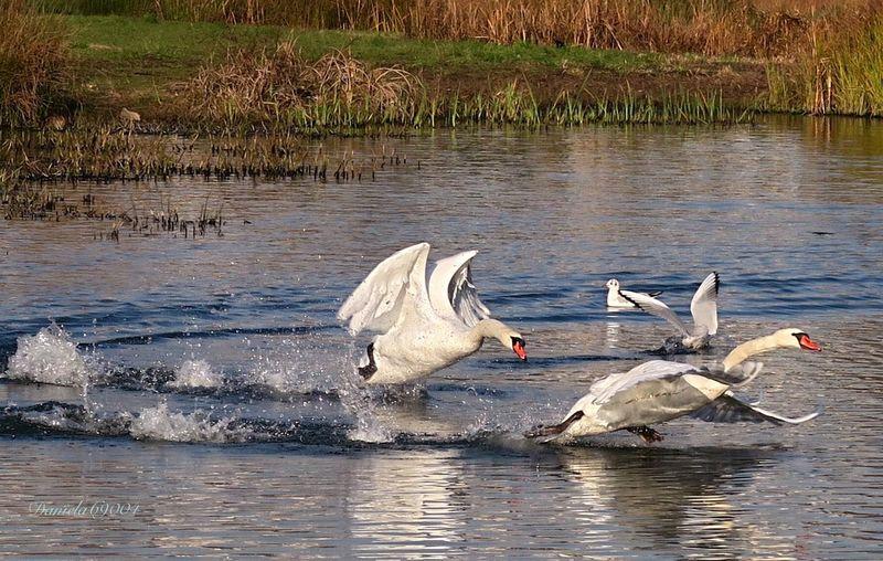 Hello World Lyon Eyelyon Only Lyon Swan Schwan  Naturelovers Bird Photography Animal Photography