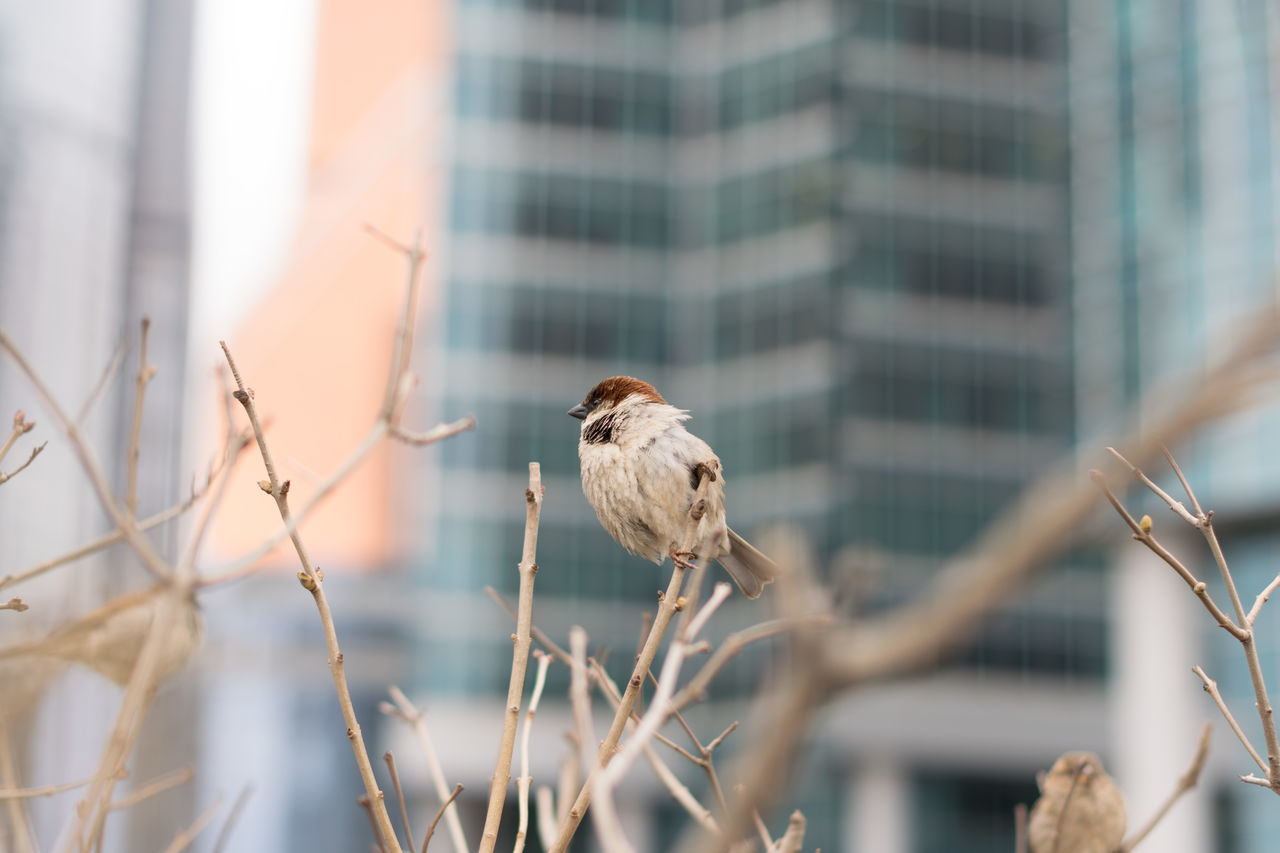 one animal, bird, animals in the wild, animal themes, animal wildlife, day, perching, outdoors, focus on foreground, no people, nature, sparrow, architecture, building exterior, close-up