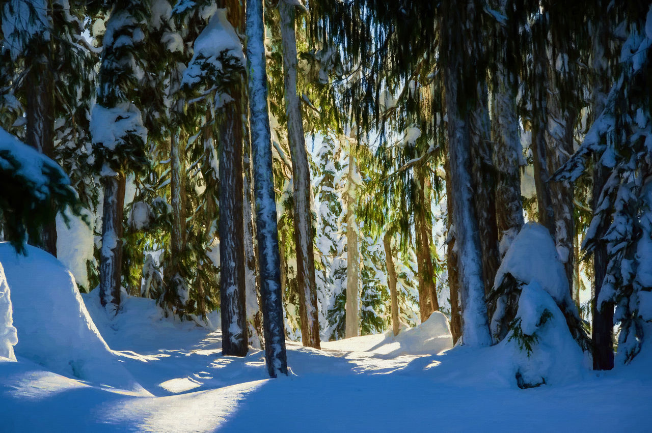 Beauty In Nature Cold Temperature Day Forest Landscape Nature No People Outdoors Paradise Meadows Pinaceae Pine Woodland Sky Snow Strathcona Provincial Park Sunlight Tree Tree Trunk Winter