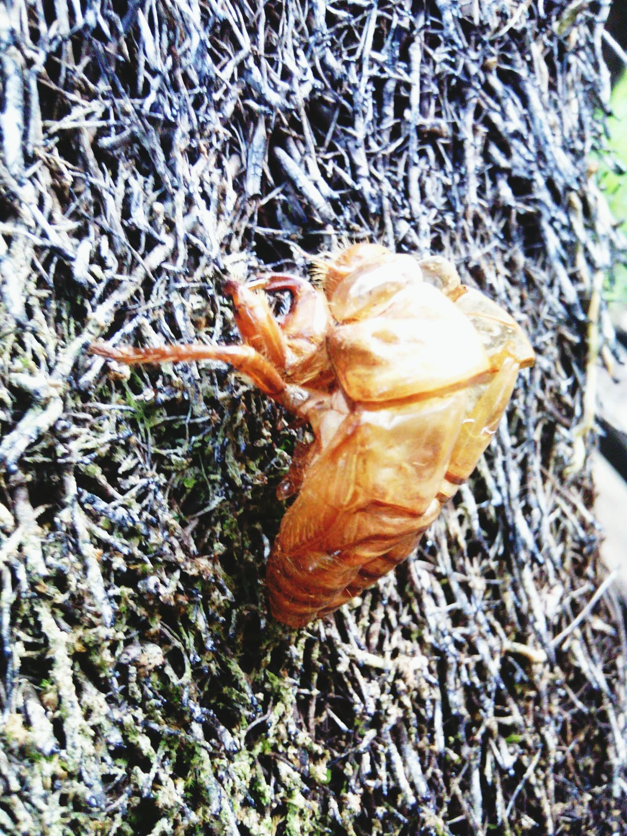 Cicada Exoskeleton Nature_collection EyeEm Nature Lover
