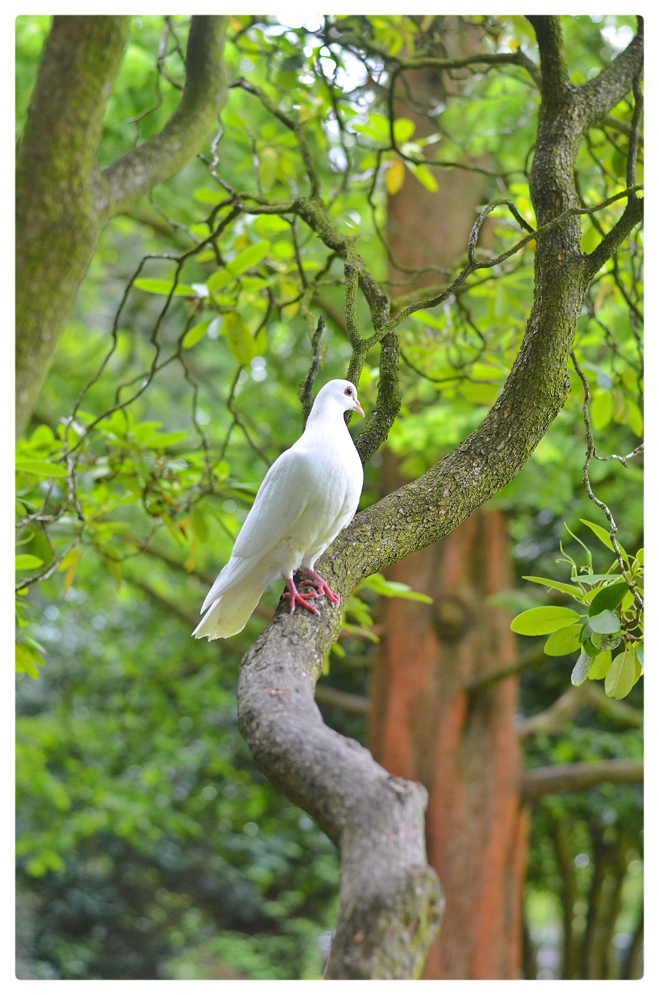 Dove Peace Bird Photography White Longford Park Amateur Photography Amateurphotographer  Beautiful Nature Columbidae WhiteCollection