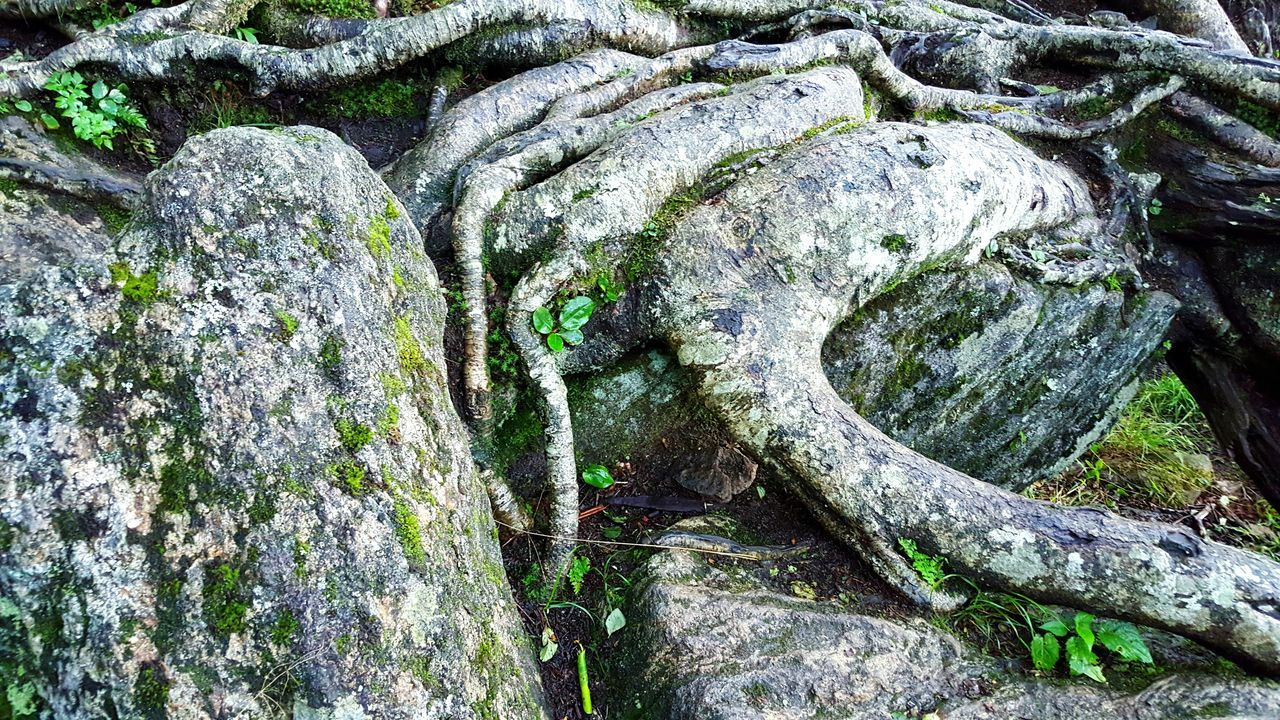 Rock Boulder Tree Roots  Tree Roots On Rock Moss Moss & Lichen Mossporn Surfaces And Textures Grey Rock Tree Root Growth Beauty In Nature Sculpture Time Light Abstract Forest