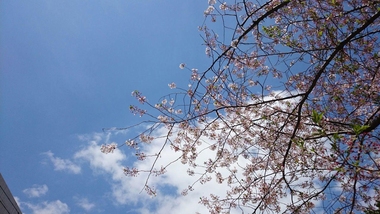 お昼になったらポカポカ陽気で、仕事してる場合じゃないな♪(*'艸`)💥👊(爆) ってか、サクラ終わって次は何に行こうかな~♪(*^^)/ Taking Photos Enjoying Life Hello World Good Afternoon Cheese! Flowerlovers Sky And Clouds あったかいんだからぁ~♪☀ Relaxing こんにちは