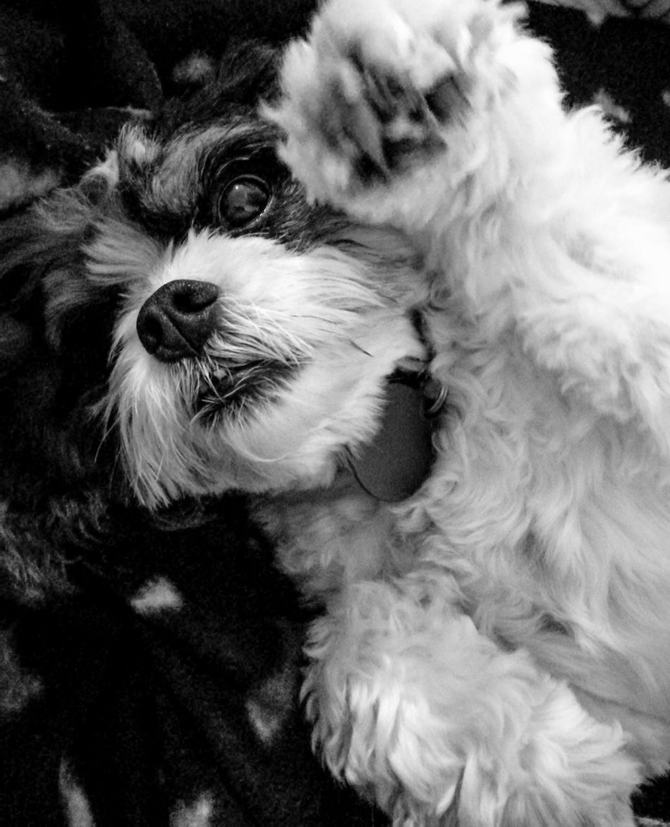 OK, last one of the dog 😄🐶 Dog Dogslife Cavalier King Charles Spaniel Cats And Dogs Huawei P9 Plus HuaweiP9plus Cute Pets Cute Dog  Mansbestfriend Highfive Paw Blackandwhite Catsanddogs Animal Showcase August