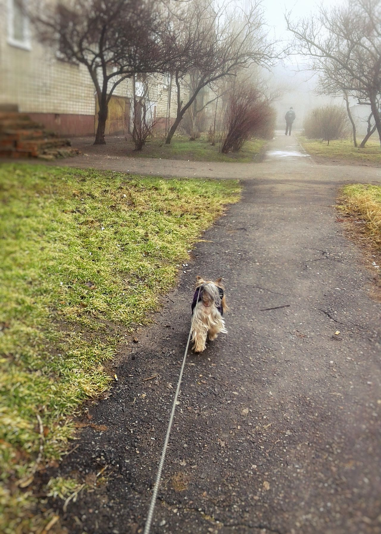 Animal Themes Dog Yorkie Yorkshire Terrier Walking The Dog Spring Has Arrived Town The Way Forward Tranquility Foggy Morning Foggy Springtime Spring Walking Foggy Weather Calm Pastel Colors Outdoor Photography Outdoors Mammal Pets Branch Bare Tree Growth Grass