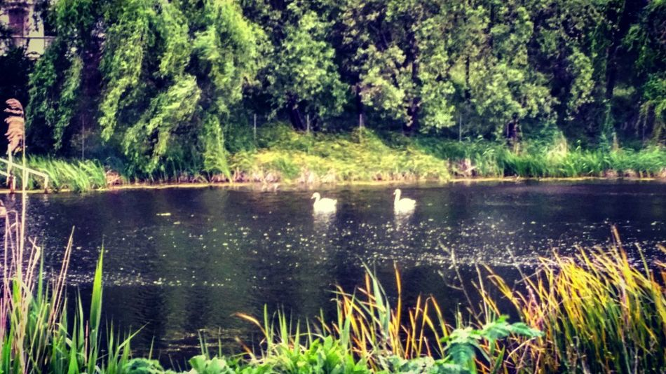 Swans Naturebeauty Lakeview Beforetherain Greenandwhite Water Beautiful Nature Quiet Moments