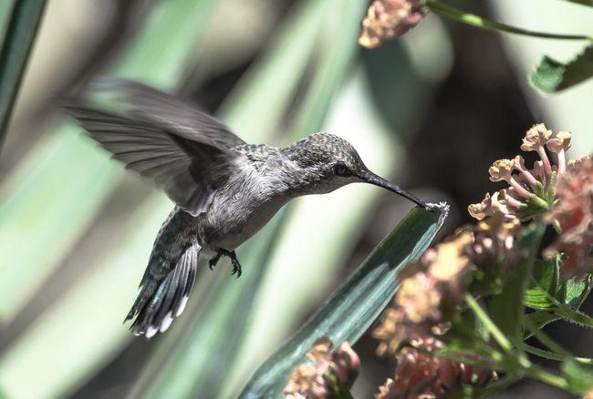 Humming bird closeup Birds Yvon Bourque EyeEm Best Shots Humming Wild Animals Tiny Bird