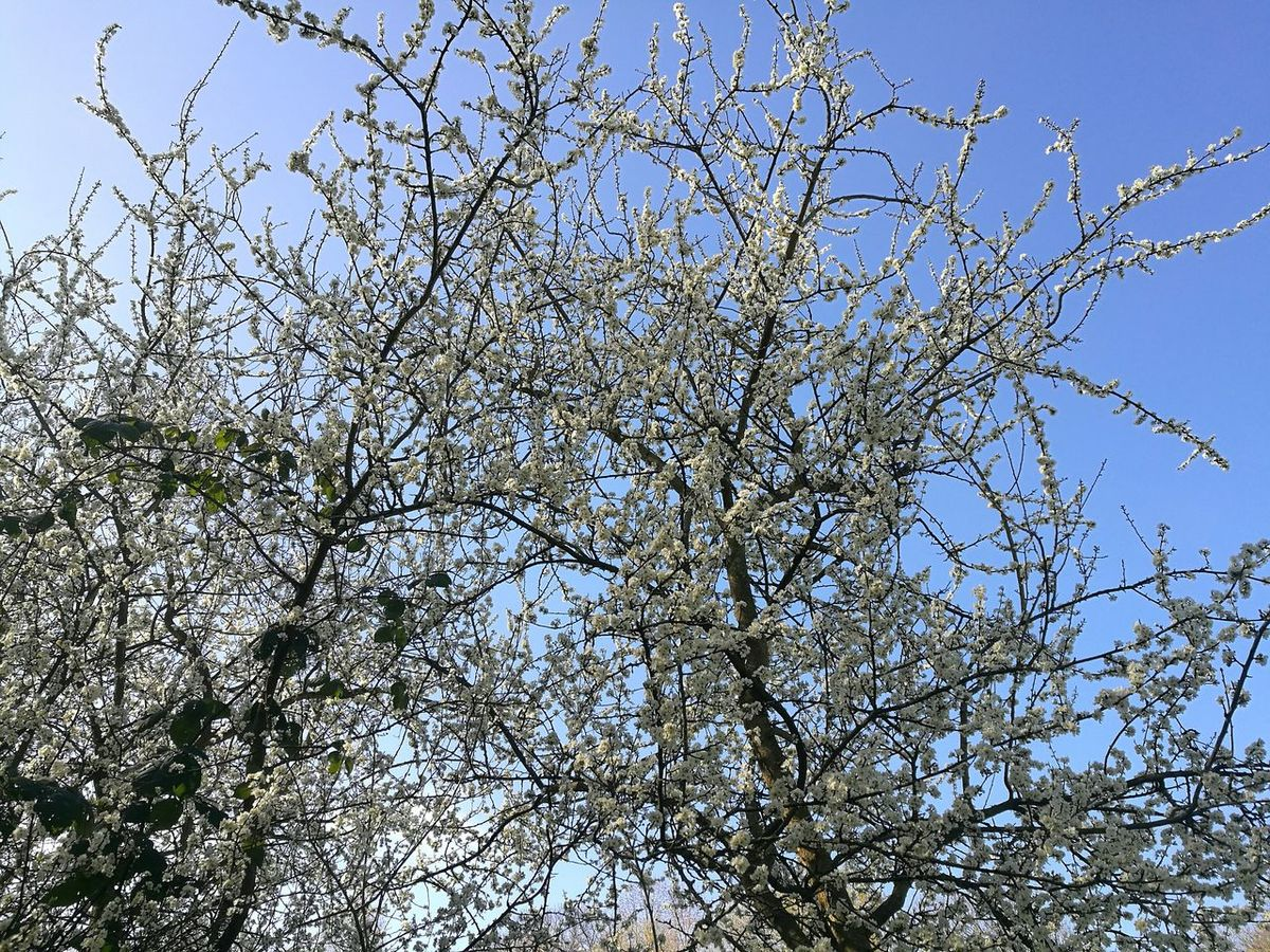 Low Angle View Tree Sky Outdoors Branch Springtime Spring Is In The Air Spring Sky Blossoms In The Sky Blossoming Tree White Blossoms Blue Sky Smartphonephotography