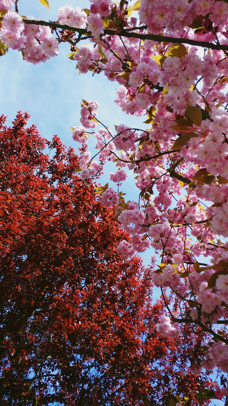 Spring colors Spring Colors Frühlingsfarben Springtime Blossoms  Trees Blüten Bäume Red Rot Pink Showcase April Nature Naturephotography Beautiful Sky Natur
