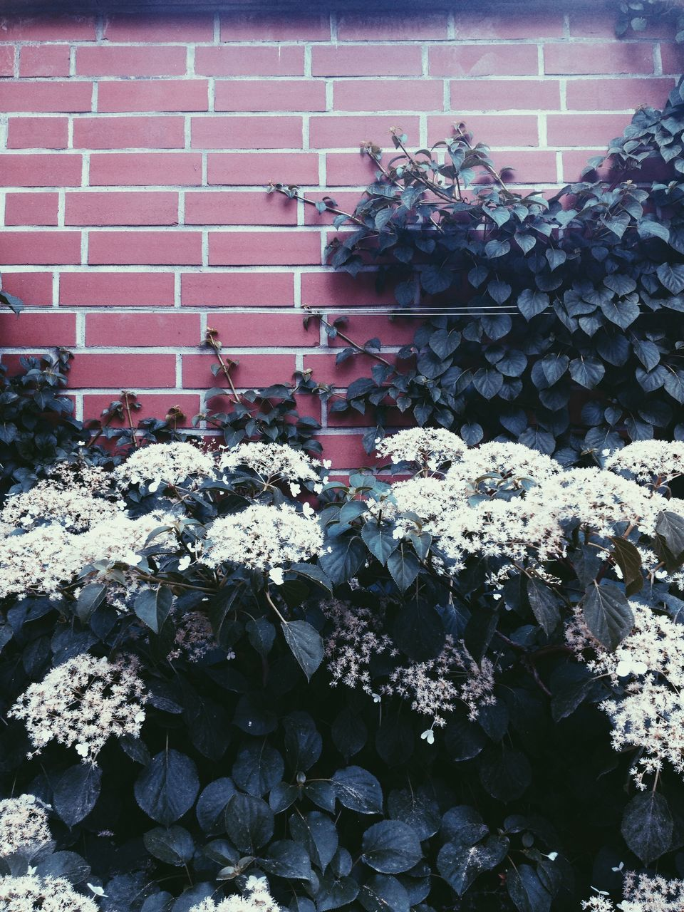 outdoors, flower, day, growth, brick wall, architecture, building exterior, built structure, nature, no people, abundance, hydrangea, plant, beauty in nature, fragility, blooming, freshness, flower head, close-up