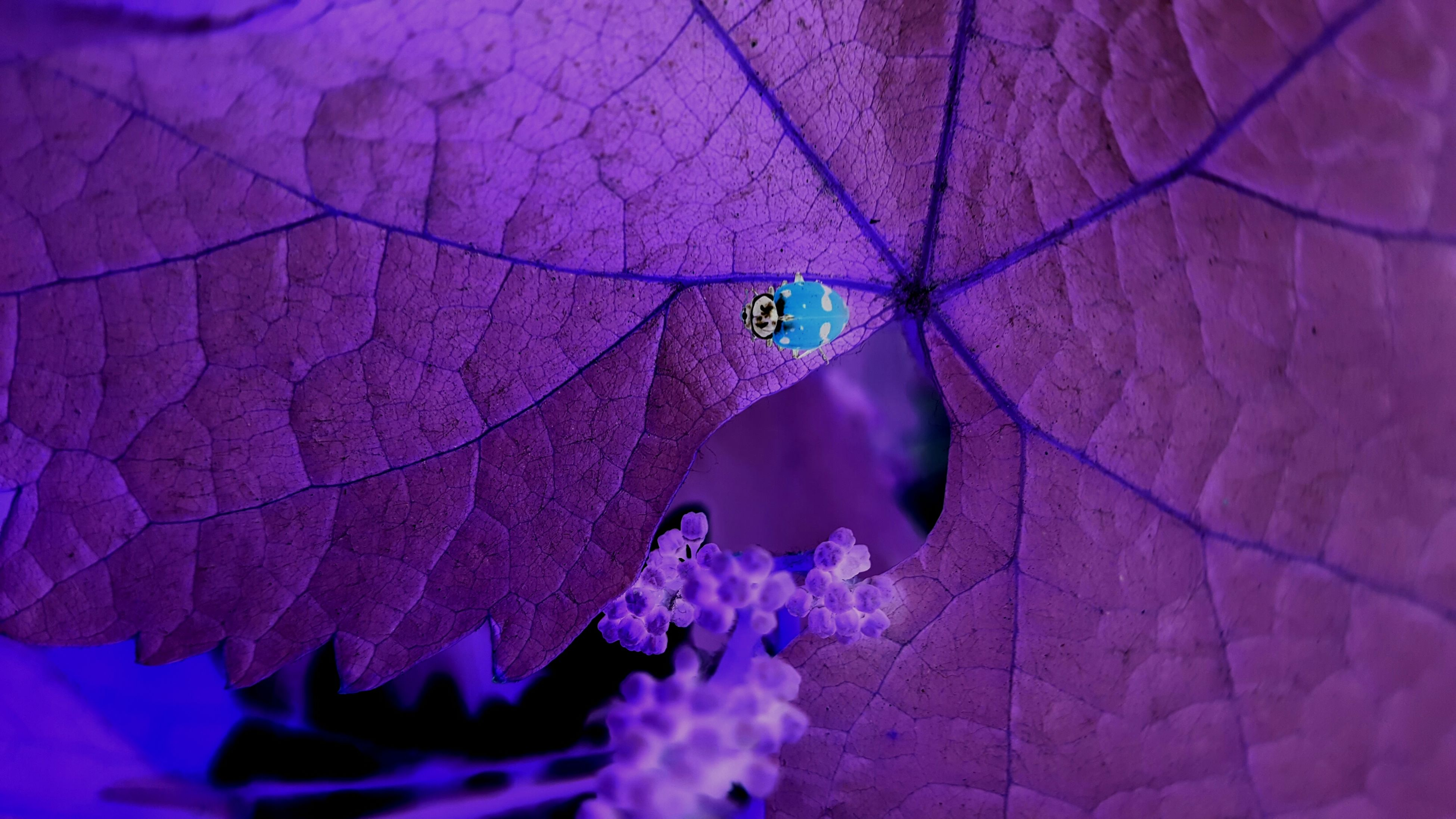 leaf, fragility, close-up, leaf vein, nature, flower, pink color, purple, beauty in nature, natural pattern, freshness, growth, plant, focus on foreground, outdoors, selective focus, day, insect, no people, petal