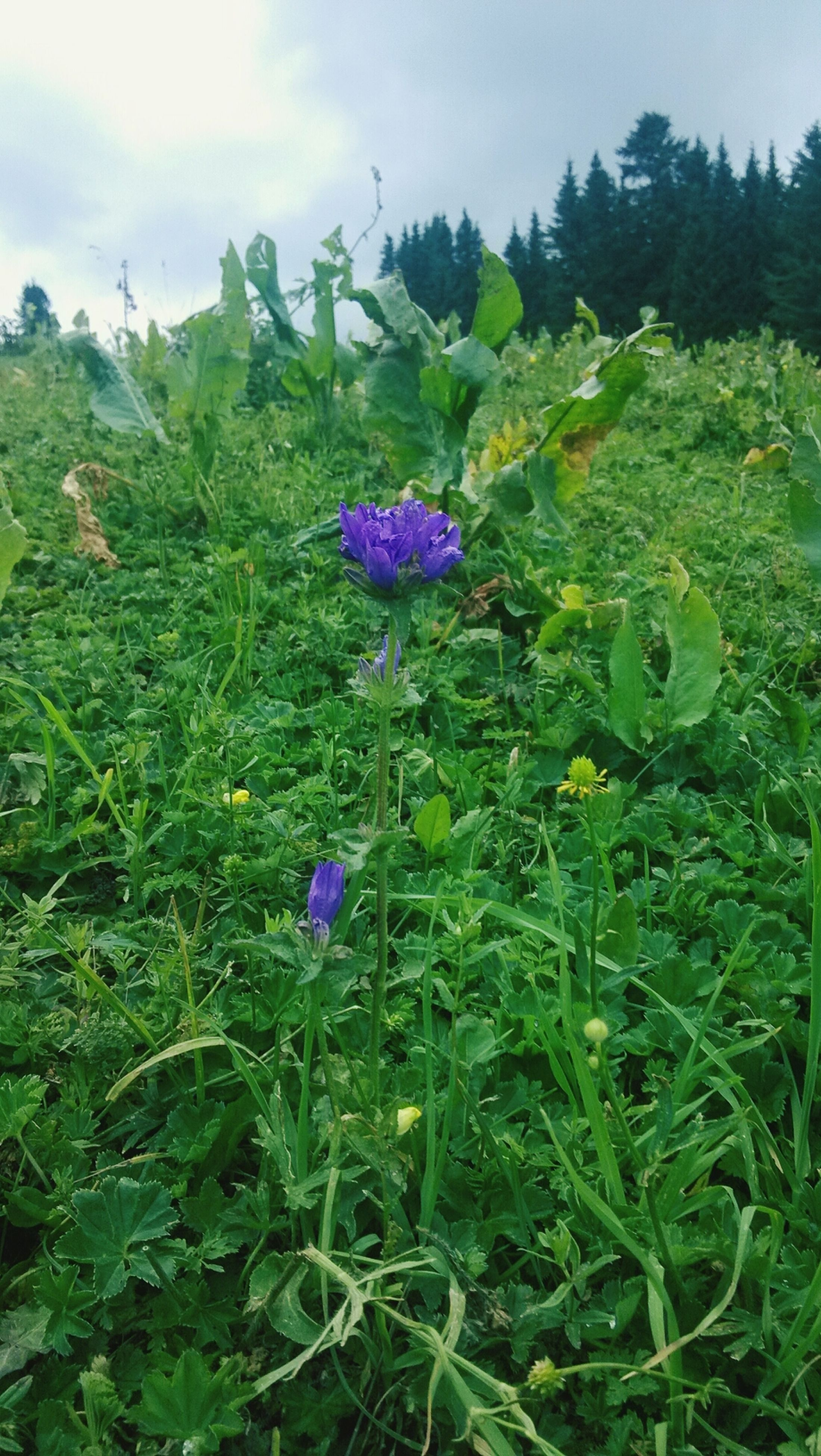 flower, growth, freshness, beauty in nature, green color, fragility, plant, nature, field, purple, blooming, in bloom, wildflower, tranquility, leaf, petal, sky, tranquil scene, flower head, day