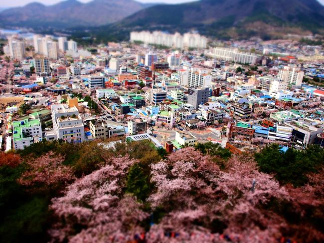 Jinhae Cherry Blossoms Taking Photos Traveling From My Point Of View Landscape Diorama Enjoying Life Olympus E-P3 14-54mm II