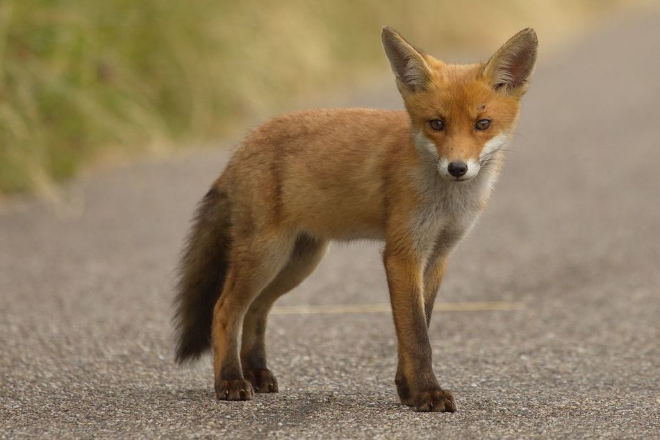 Beautiful stock photos of fox,  Animal Wildlife,  Animals In The Wild,  Brown,  Carnivora