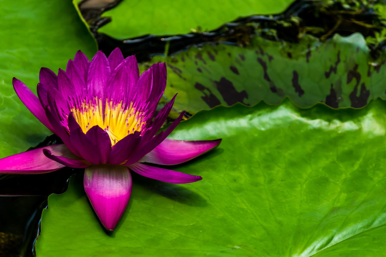 Purple Water Lily Acquaticplants Beauty In Nature Blooming Botany Close-up Flower Flower Head Fragility Green Leaves Growth Leaf Lily Pad Lily Pond Nature No People Petal Plant Purple Flower Water Plants Yellow