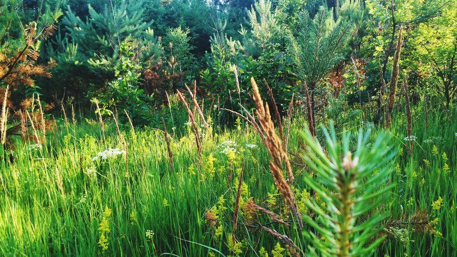 Walking Around Forest Wild Grass Summertime Sunset