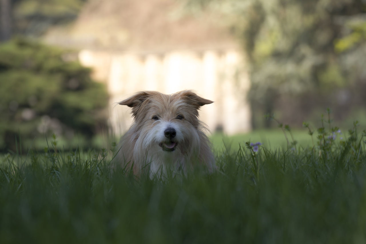 dog, pets, one animal, grass, domestic animals, animal themes, mammal, looking at camera, green color, portrait, nature, day, outdoors, no people, west highland white terrier, close-up