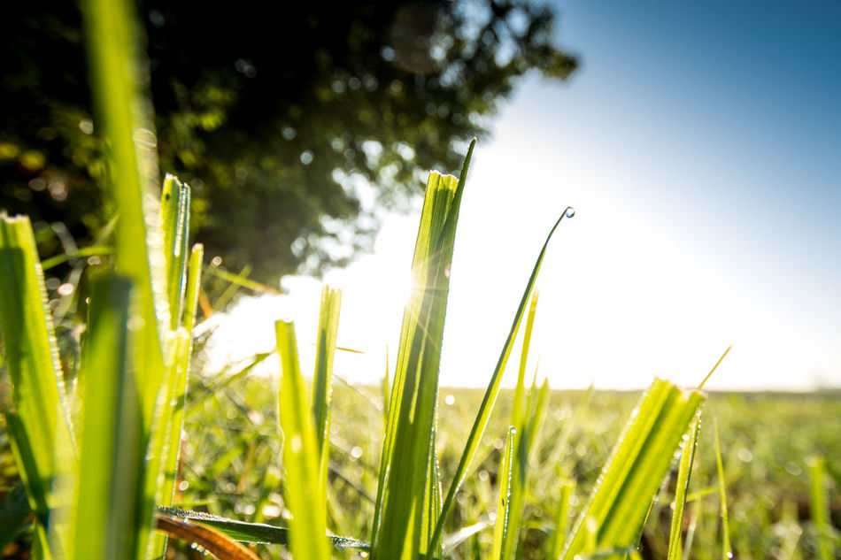 Agriculture Beauty In Nature Close-up Day Focus On Foreground Freshness Grass Grass Grassland Green Color Growth Nature Nature Nature Photography Nature_collection Nature_perfection No People Outdoors Plant Sunlight Sunrise Sunrise_Collection Sunrise_sunsets_aroundworld Tranquility