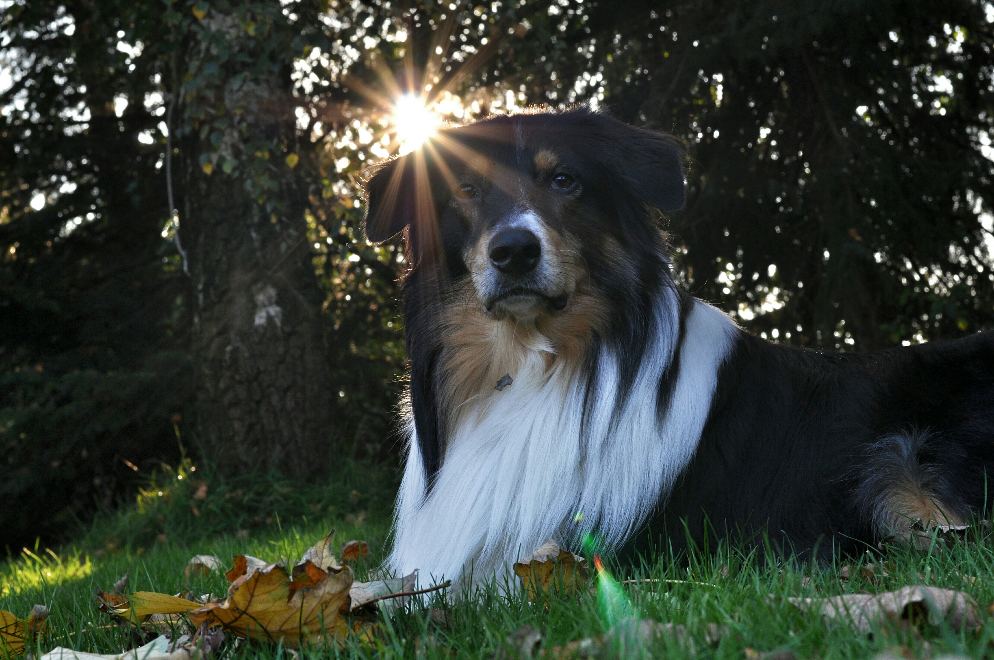 mammal, domestic animals, animal themes, one animal, dog, pets, tree, sunlight, grass, field, nature, no people, outdoors, lens flare, sunbeam, animal head, forest, day, sitting, close-up