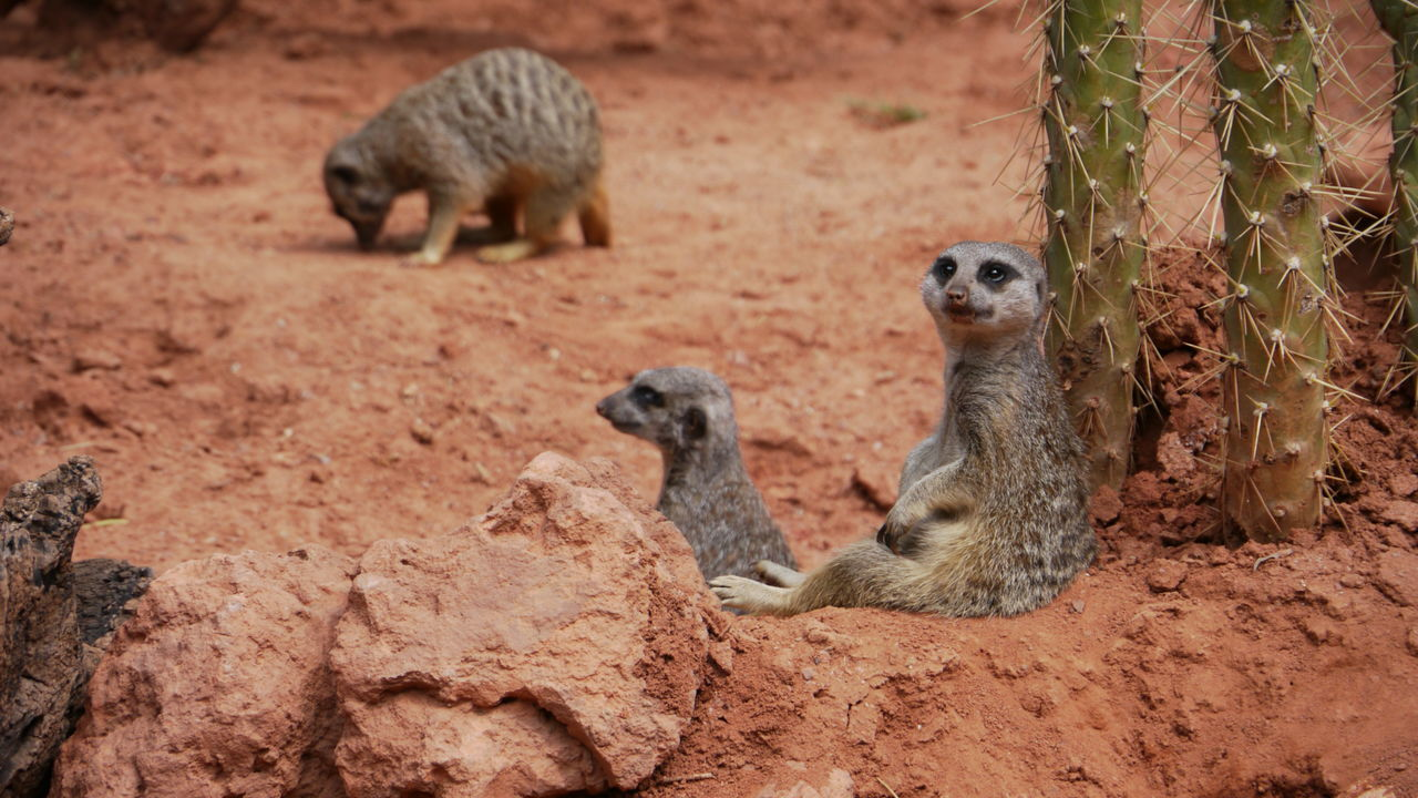 meerkat, animals in the wild, animal wildlife, animal themes, mammal, day, outdoors, no people, nature, baboon, close-up