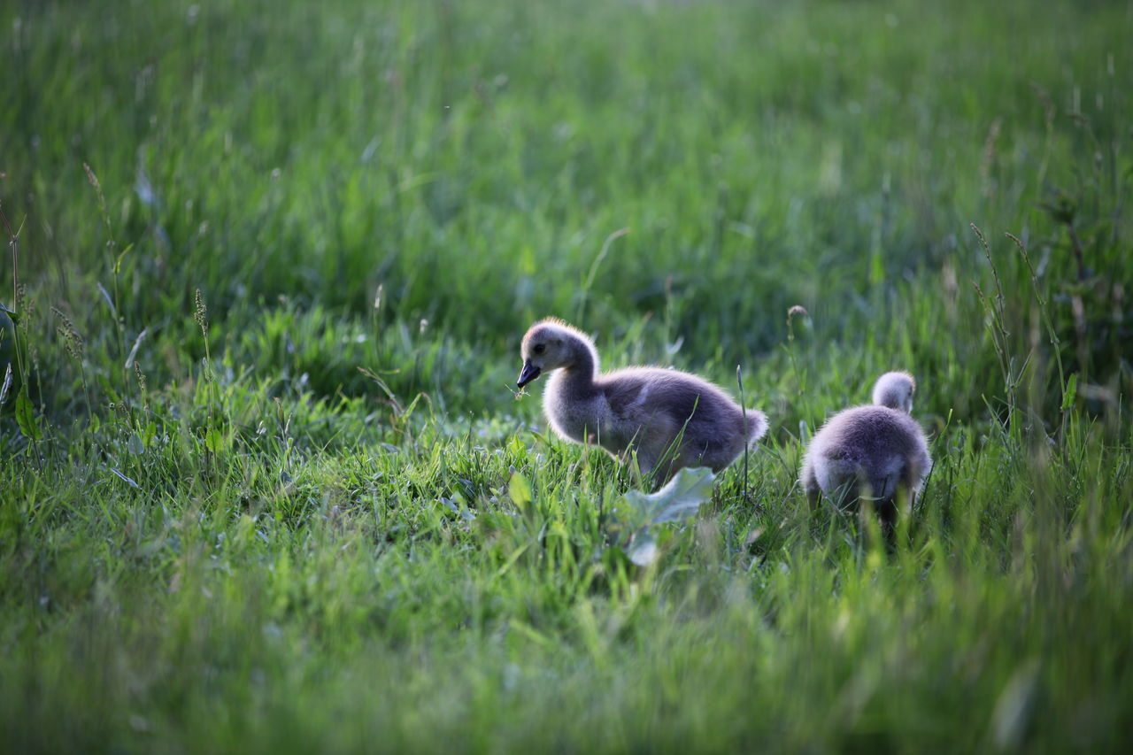 bird, grass, animal themes, animals in the wild, young bird, young animal, animal wildlife, nature, gosling, field, no people, day, outdoors, goose, duckling, growth, beauty in nature, swan