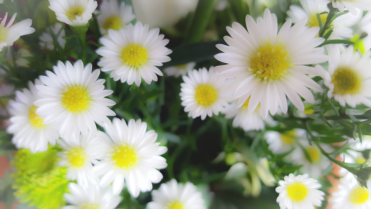 Daisy 🌼 Flowers Flowers, Nature And Beauty Growing Flowers Daisy Flower Daisy Close Up Daisies ♥  Beauty In Nature Fragility Flower Nature Plant White Color Petals🌸 Daisy💜 Green Nature Greenthumb Outdoors Spring Spring Flowers Spring Colours Spring Is Coming