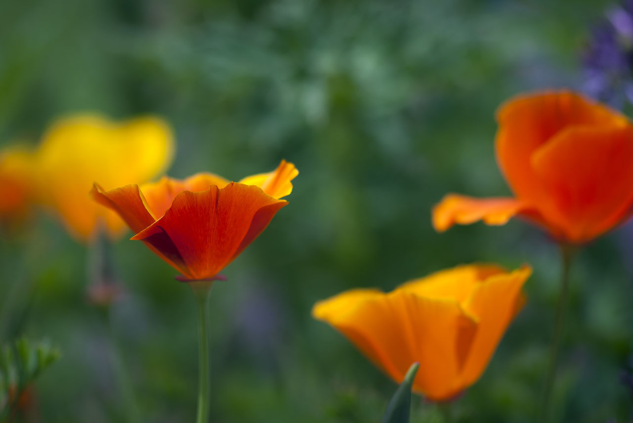 A deep orange, California poppy blooms in a spring meadow. Blooming Bright California Poppies California Poppy Flower Freshness Garden Green Growth Happiness Happy Meadow Nature Orange Outdoors Petal Plant Poppies  Poppy Red Springtime Vibrant Color Vivid Wild Wildflower