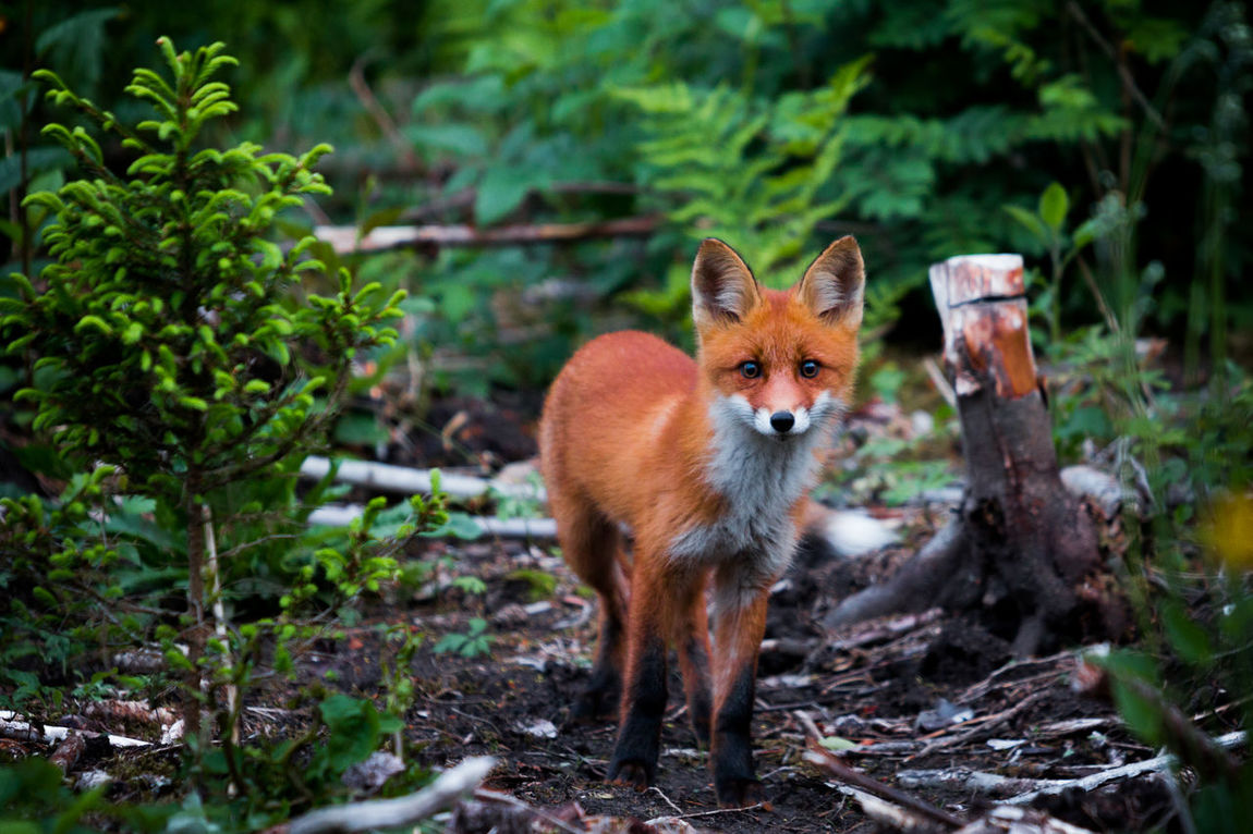 Animal Themes Animal Wildlife Animals In The Wild Day Forest Fox Looking At Camera Mammal Nature No People One Animal Outdoors Plant Portrait Tree