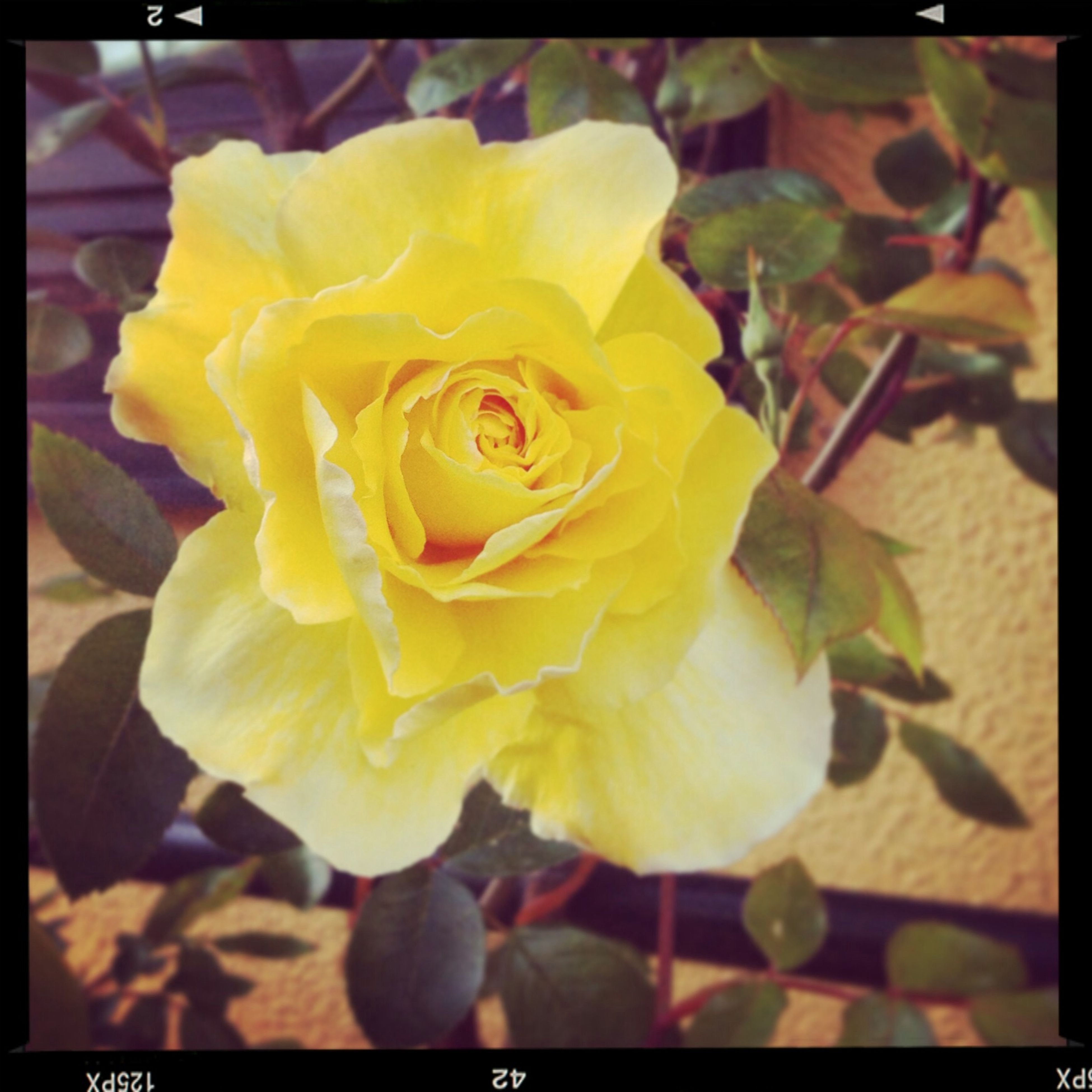 transfer print, flower, petal, flower head, freshness, fragility, auto post production filter, yellow, close-up, beauty in nature, growth, blooming, focus on foreground, nature, single flower, plant, in bloom, rose - flower, blossom, outdoors