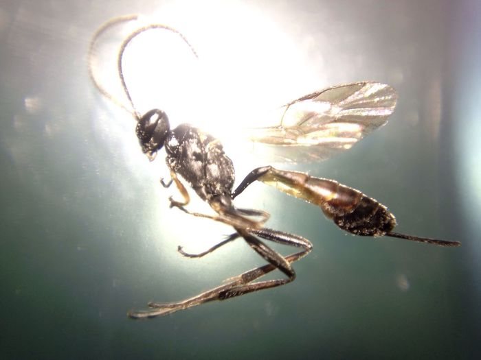 Insect Wasp Macro Close-up Macro Photography Macro Macro Nature Wasp IPhone IPhoneography IPhone Photography small wasp about 3mm taken using a Blip macro lens on the iPhone camera lens