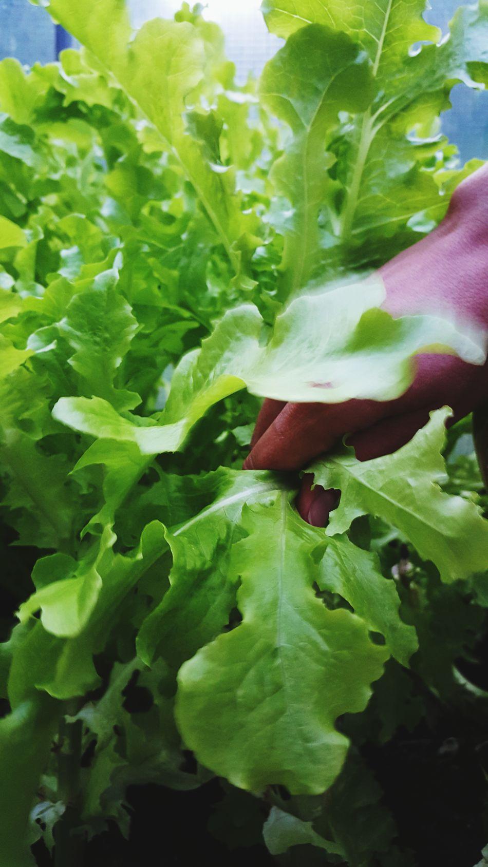 Picking some evening Salad