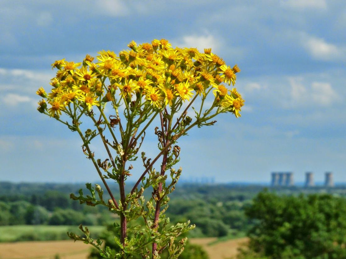 Nature Flower Tree Plant Outdoors Focus On Foreground Landscape Cloud - Sky Sky Day No People Rural Scene Close-up Beauty In Nature Tutbury Castle Tutbury Willington Derbyshire Yellow Flower Yellow EyeEmNewHere Paint The Town Yellow Weeds Are Beautiful Too Lost In The Landscape