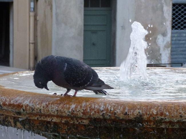 Animal Themes Bird Fontaine Fountain Pigeon Sleeping Bird Water Water_collection