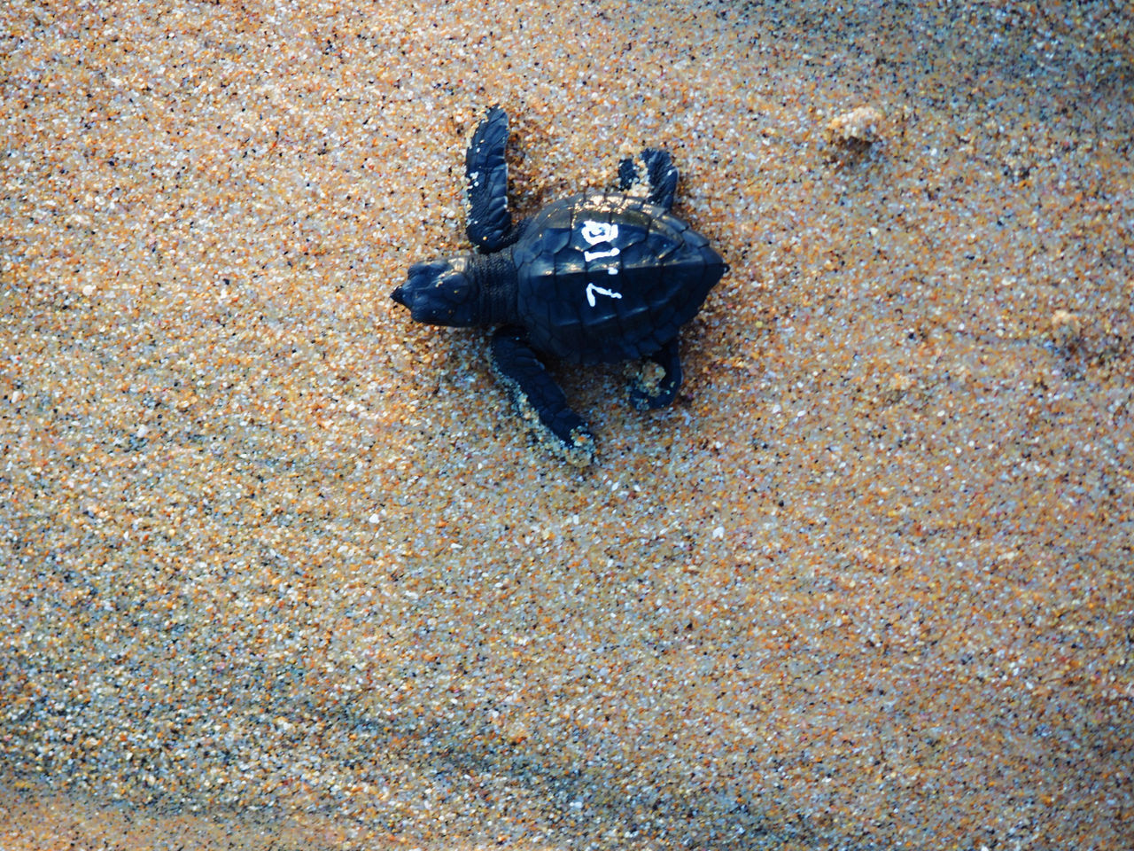 Animal Protection Animal Themes Animals In The Wild Baby Animals Beach Close-up Day High Angle View Mazunte Mexico Nature No People Numbers Outdoors Sand Sea Life Sea Turtle Travel Photography Turtle Wildlife