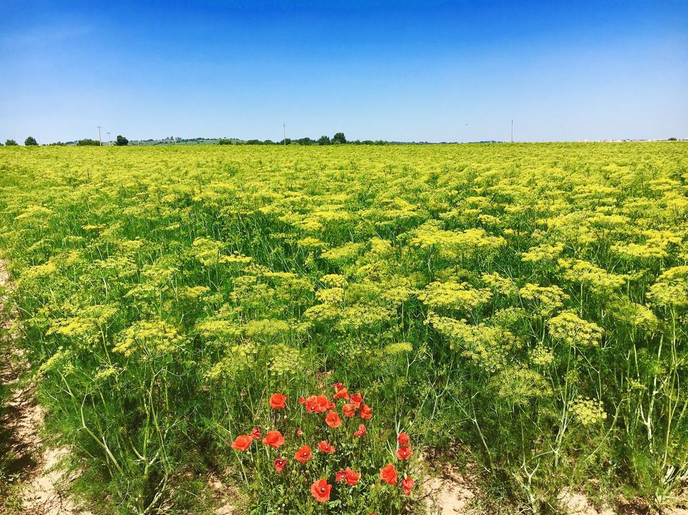 Field Colors Nature Flower Growth Beauty In Nature Agriculture Landscape No People Freshness Outdoors Springtime Rural Scene Yellow Plant Clear Sky
