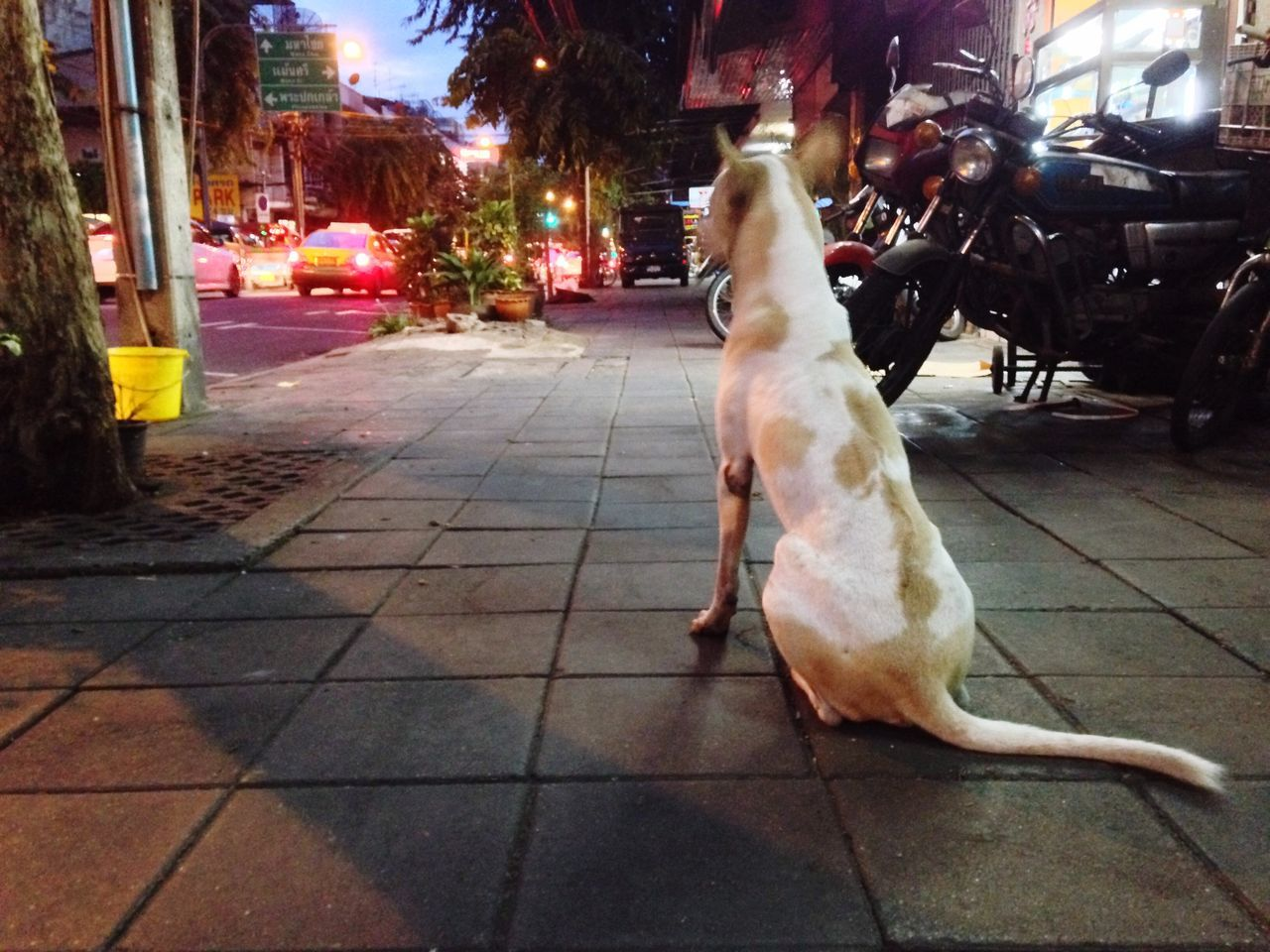 Waiting Dog Thai Street Dog On Street Footpath Thai Dog Sitting On The Walkway Bangkok Spotted In Thailand