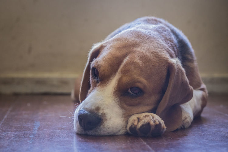Dog Pets One Animal Indoors  Portrait No People Mammal Looking At Camera Domestic Animals Close-up Animal Themes Day 50mm Lightday Contrast Contrasts Light And Shadow Headshot Front View Looking At Camera Friendforever Canine Beagle Daylight