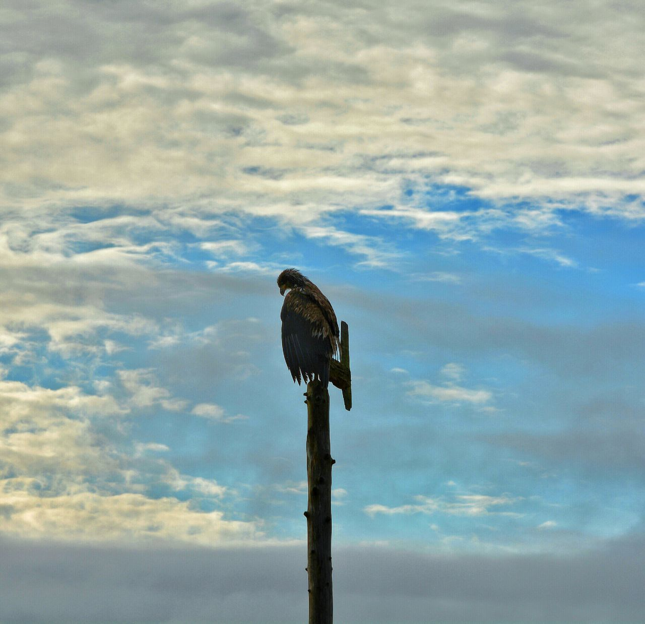 Eagle Perching On Wooden Pole, Sky With Clouds