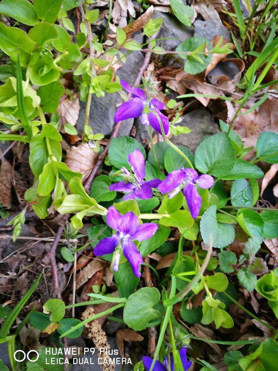 growth, plant, leaf, flower, fragility, nature, purple, green color, petal, outdoors, freshness, beauty in nature, day, no people, blooming, flower head, close-up
