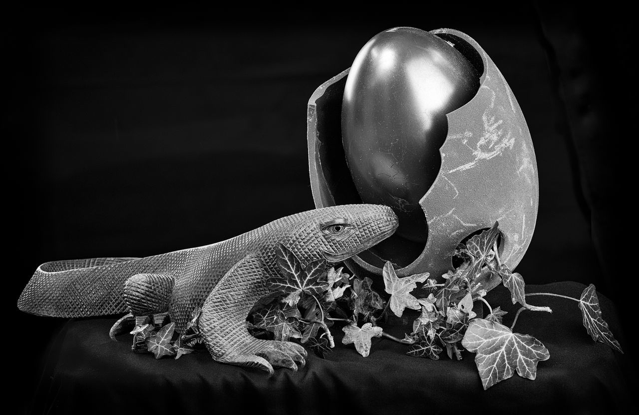 one animal, no people, close-up, animal themes, indoors, studio shot, reptile, black background, day