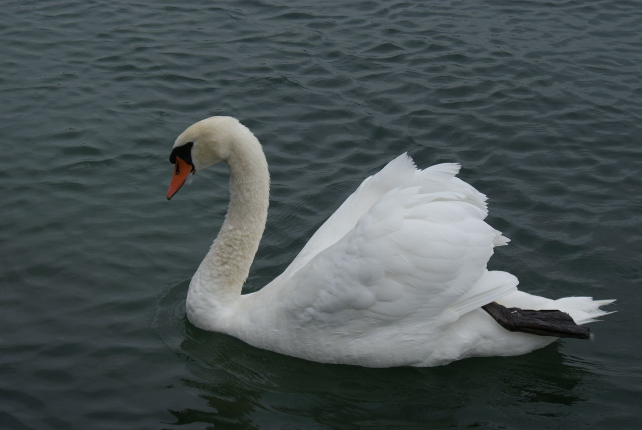 water, one animal, animals in the wild, lake, white color, swan, animal themes, bird, swimming, animal wildlife, day, no people, water bird, nature, waterfront, outdoors, close-up