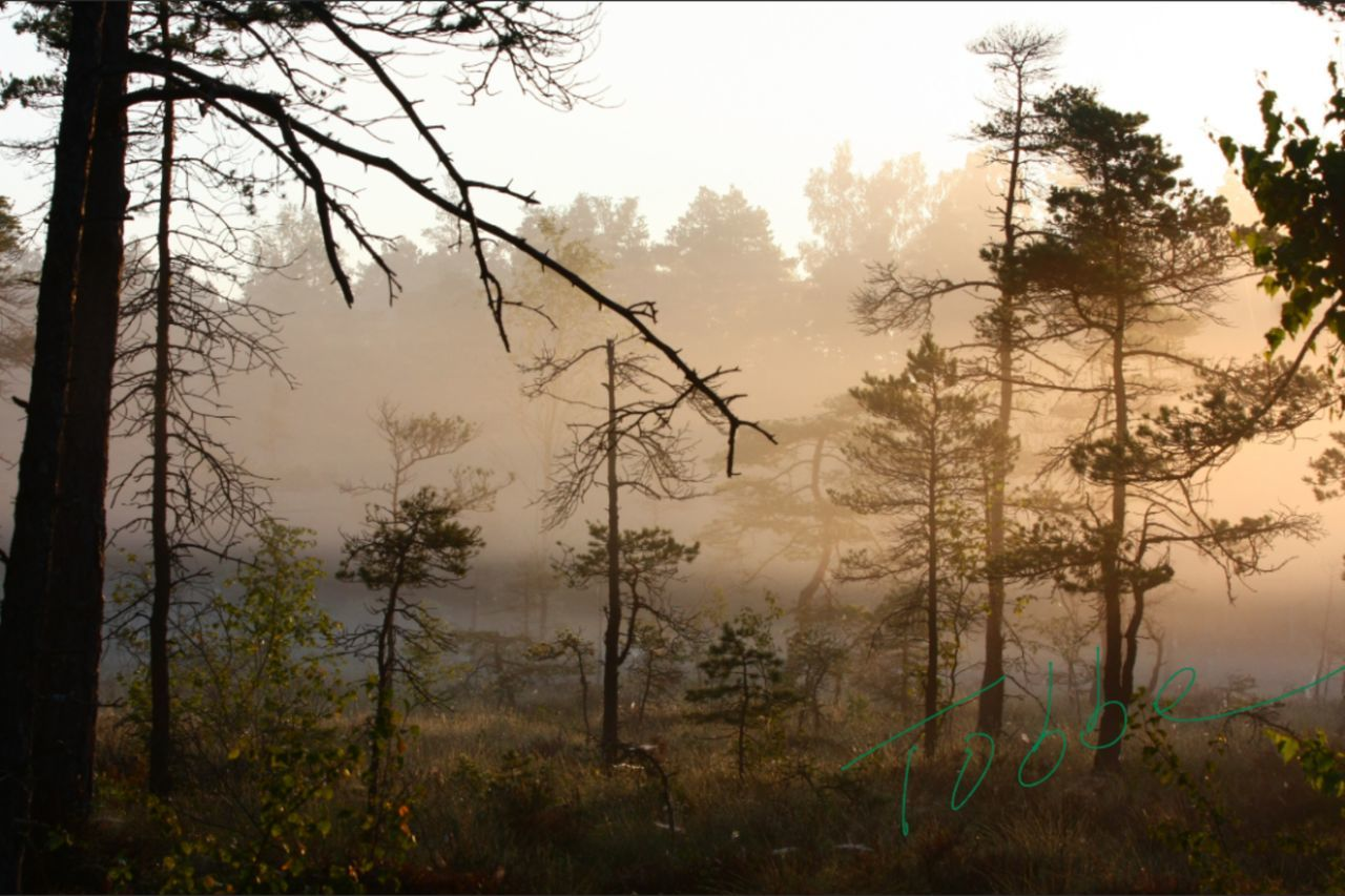 tree, forest, nature, growth, no people, day, fog, plant, outdoors, forest fire, dawn, landscape, branch, beauty in nature, sky