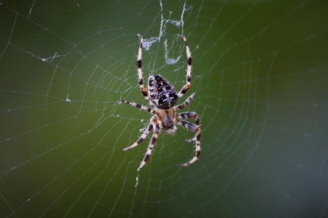 Detail Focus On Foreground Kreuzspinne Nature Nature_collection Spider Spiderweb Spinne Spinnenenetz Spinnennetz Spinnweben